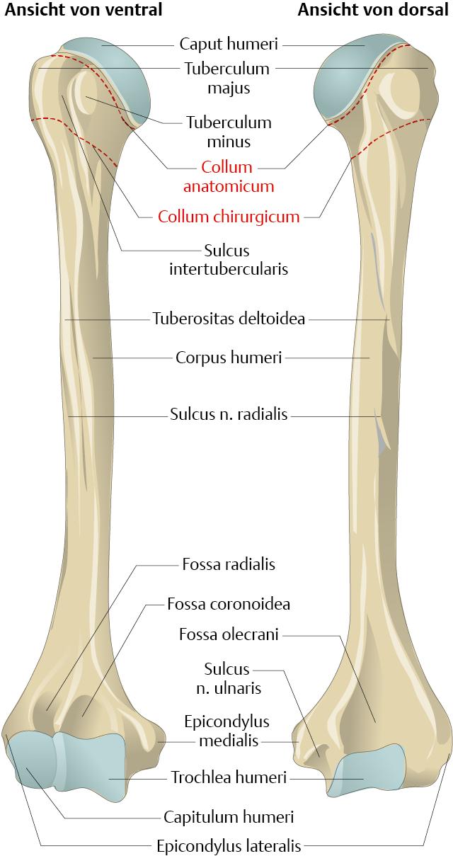Oberarmknochen (Humerus) - via medici