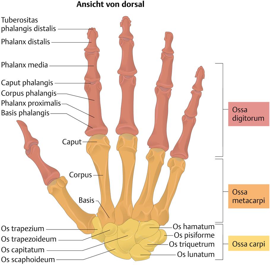 Handknochen (Ossa manus) - via medici
