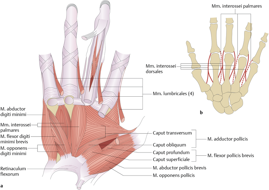 Kurze Handmuskeln - via medici