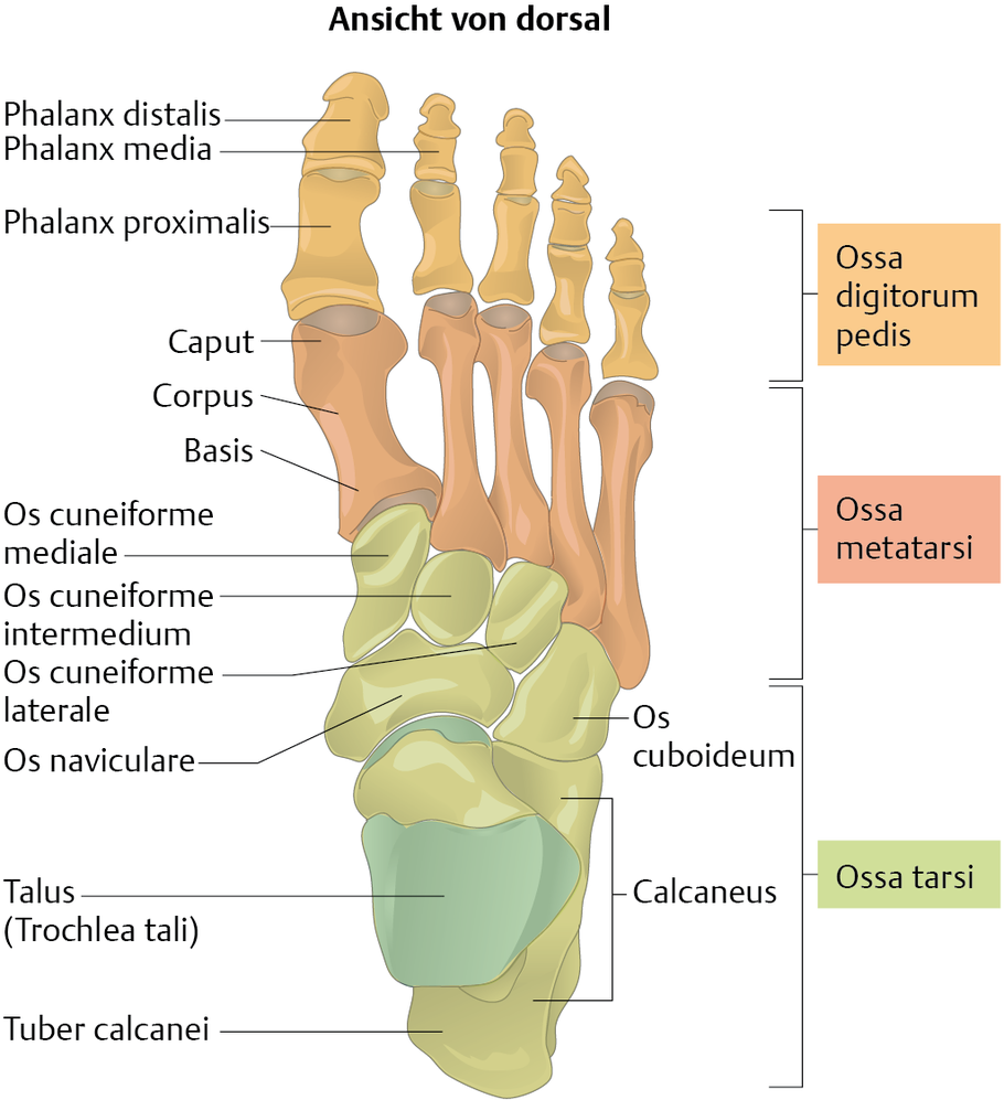 Fußknochen (Ossa pedis) - via medici