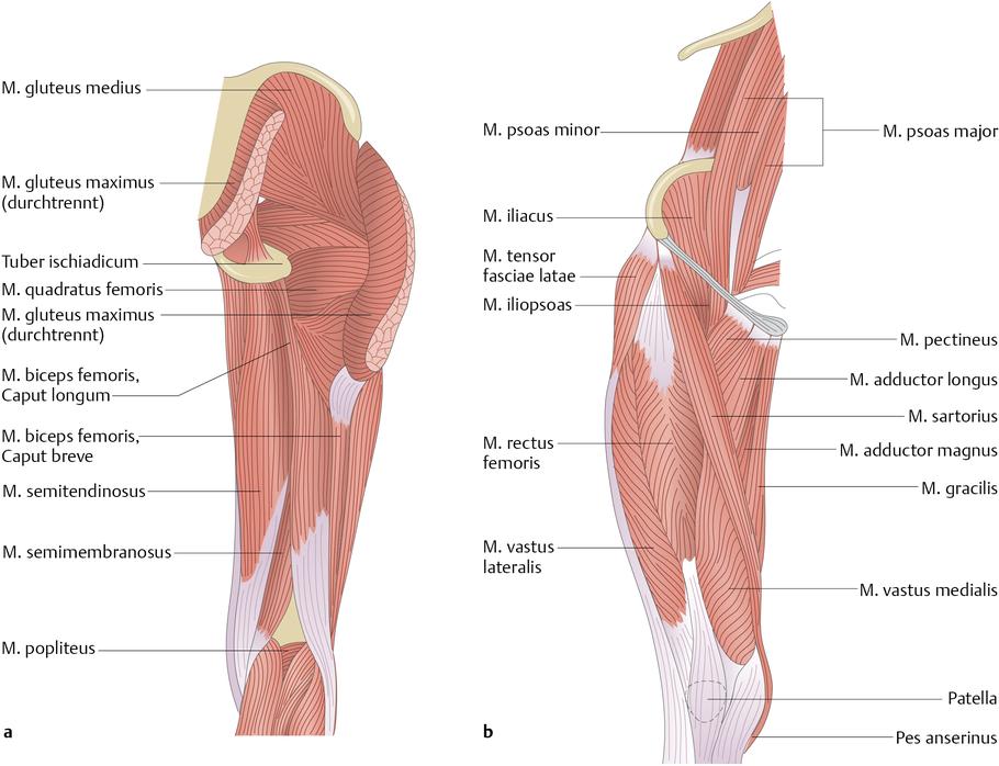 Oberschenkelmuskulatur - via medici