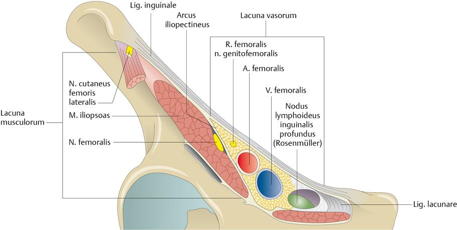 Leistenregion (Regio inguinalis) - via medici