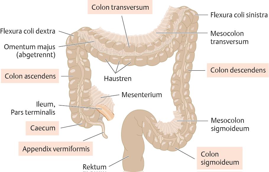 Blinddarm (Caecum) und Grimmdarm (Colon) - via medici