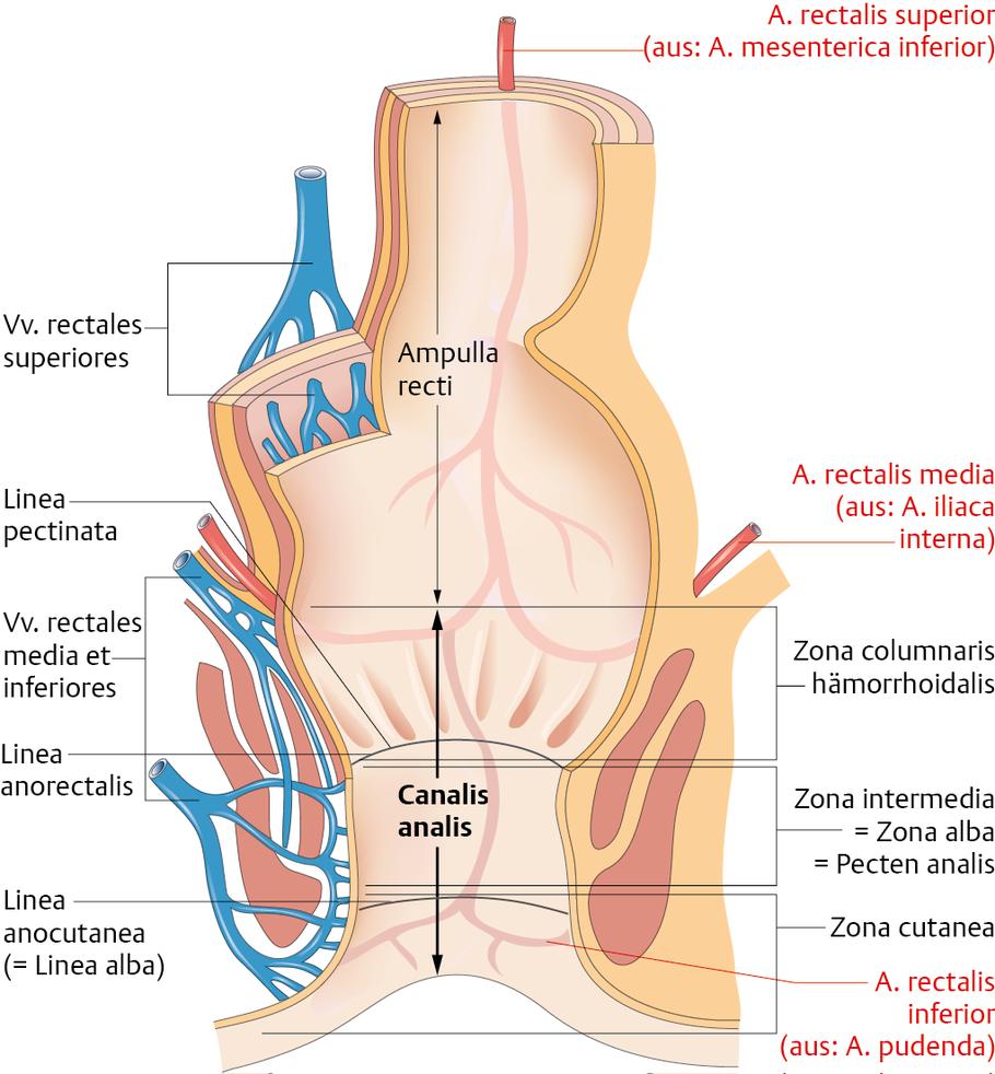 Mastdarm (Rectum) und Analkanal (Canalis analis) - via medici