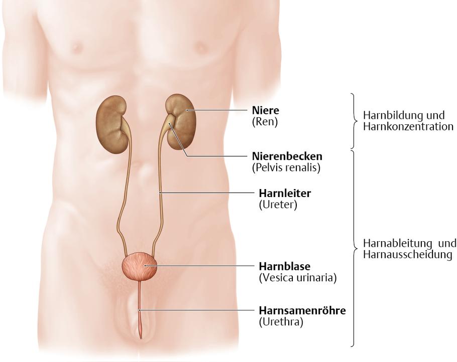Harnsystem: Überblick - via medici