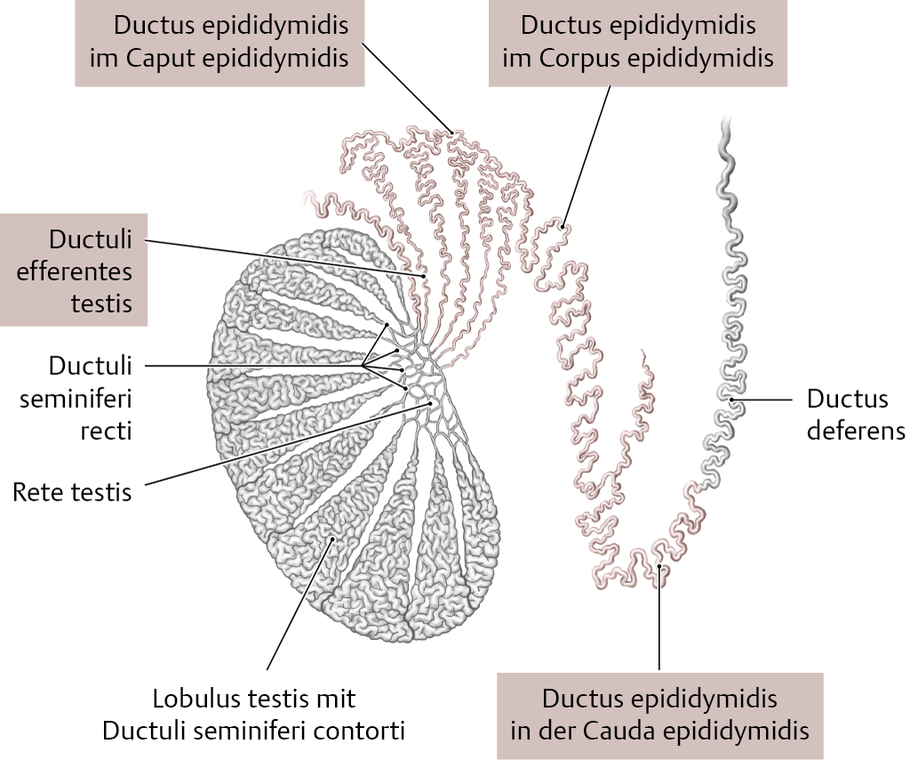 Nebenhoden (Epididymis) - via medici
