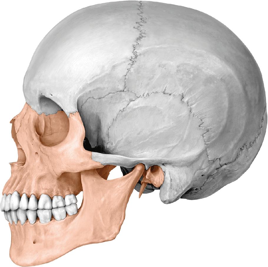 Schädel: Aufbau und Funktion - via medici