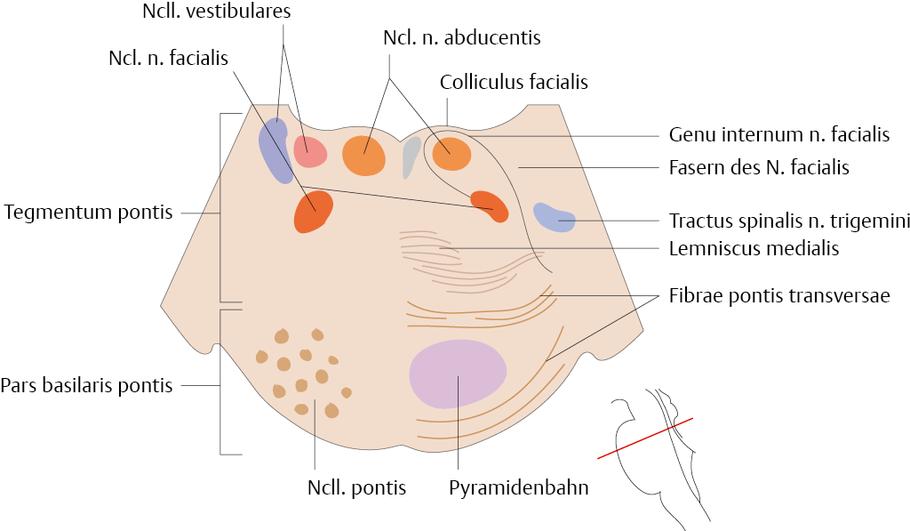 Ungewöhnlich Anatomie Des Pons Bilder - Anatomie Von Menschlichen ...