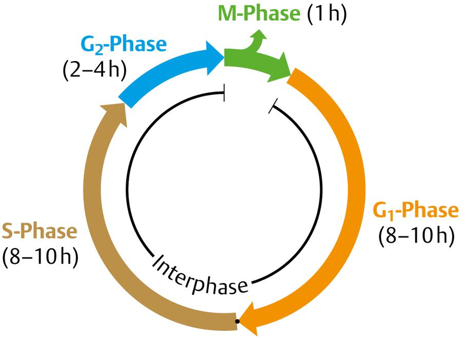 Zellzyklus und Zellteilung: Überblick - via medici