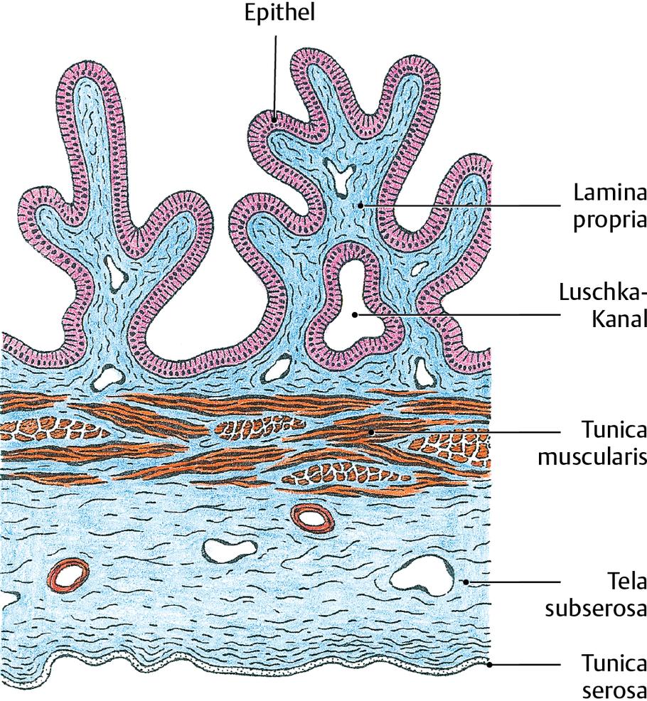 Extrahepatische Gallenwege und Gallenblase: Histologie - via medici