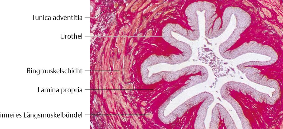 Harnleiter, Harnblase und Harnröhre: Histologie - via medici