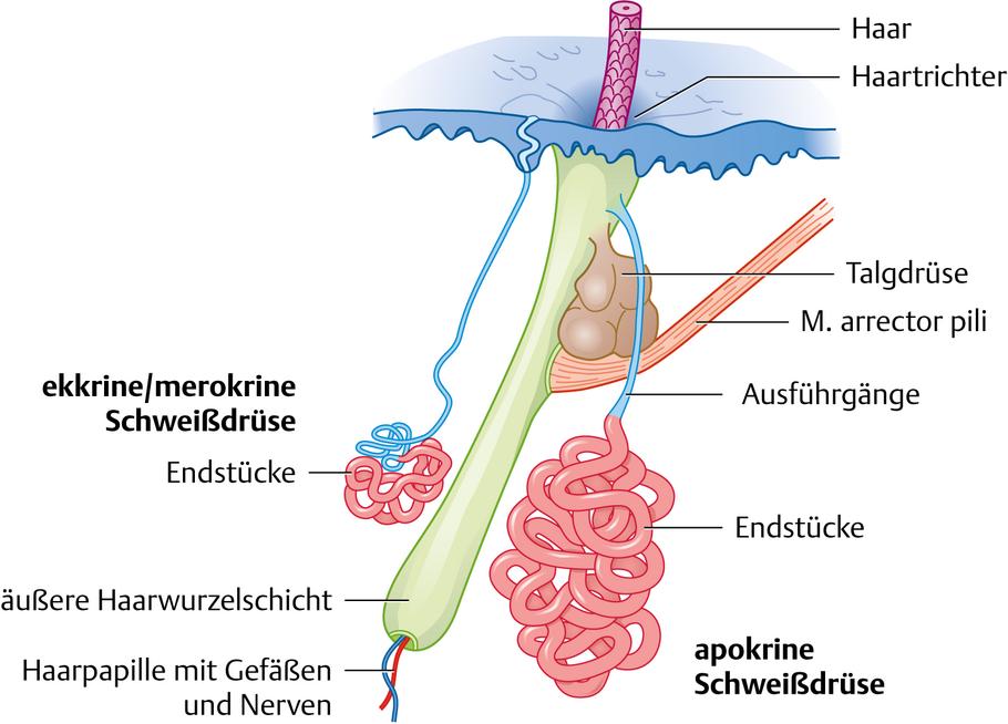 Hautdrüsen - via medici