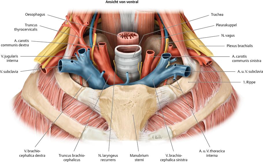 Halsmuskeln - via medici