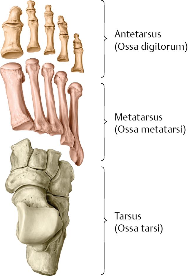 Groß Skelettanatomie Fuß Galerie - Anatomie Von Menschlichen ...
