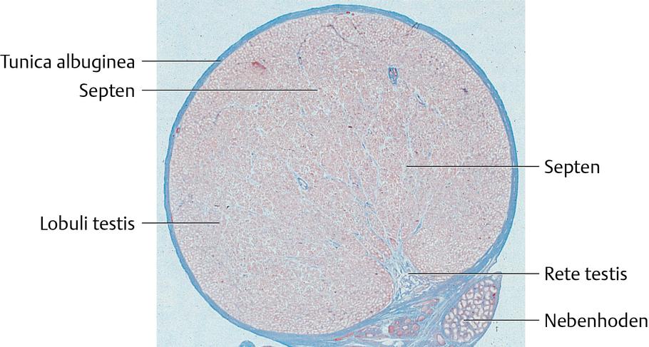 Hoden: Histologie - via medici