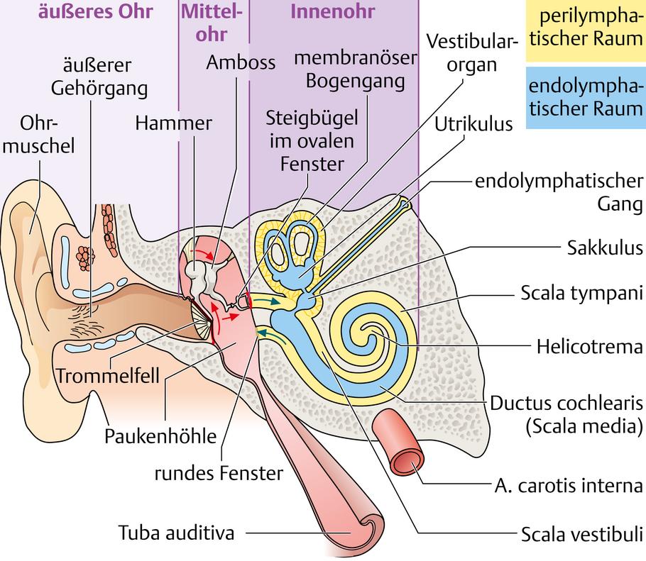 Ohr: Aufbau und Funktionen im Überblick - via medici