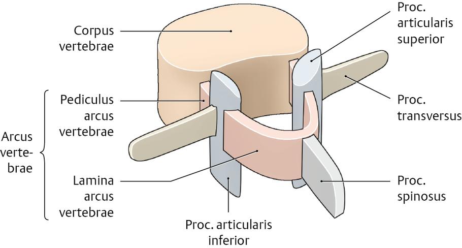 Wirbel (Vertebrae) - via medici