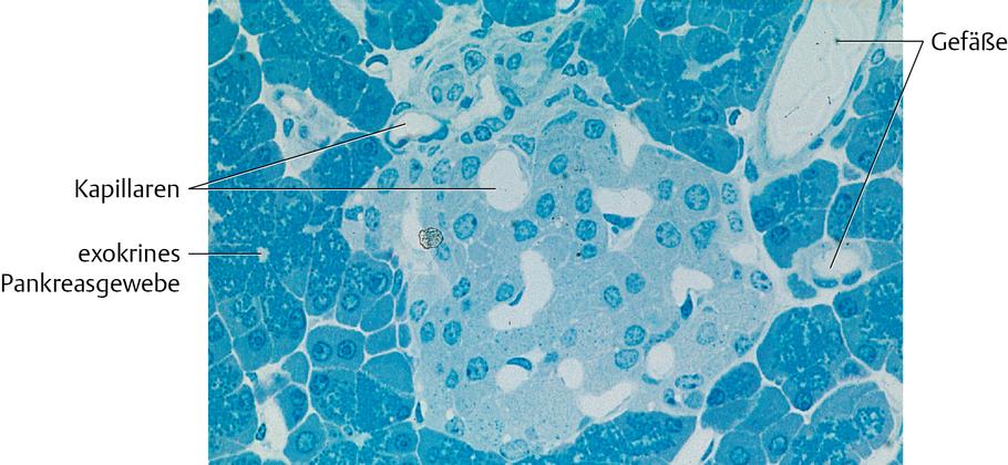 Bauchspeicheldrüse (Pancreas): Histologie - via medici