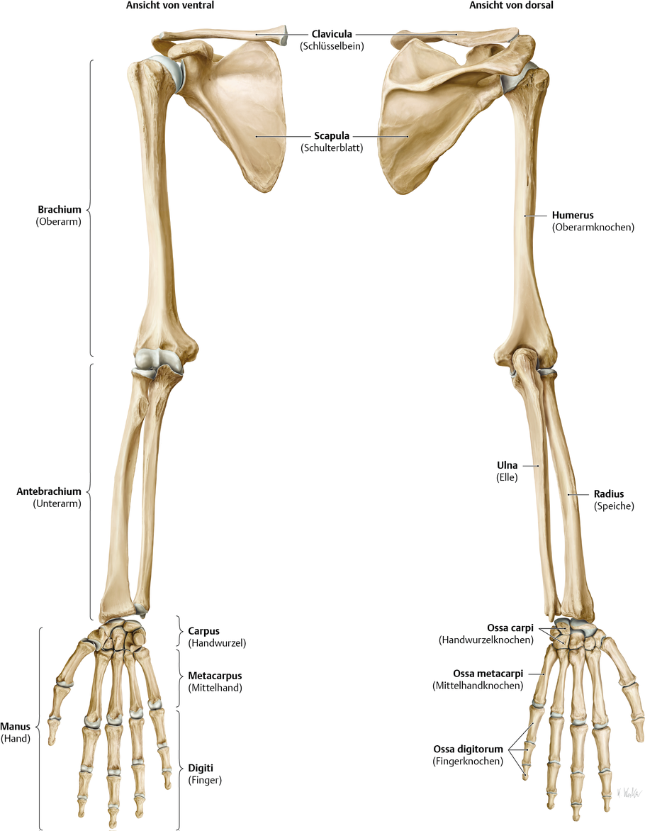 Fantastisch Anatomie Der Ulna Zeitgenössisch - Anatomie Und ...