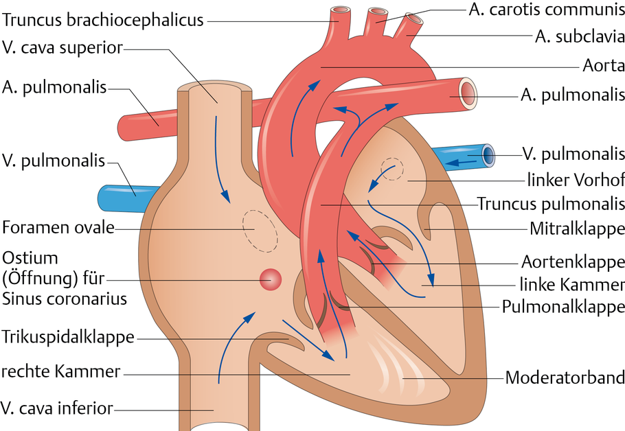 Herz: Aufbau und Lagebeziehungen - via medici