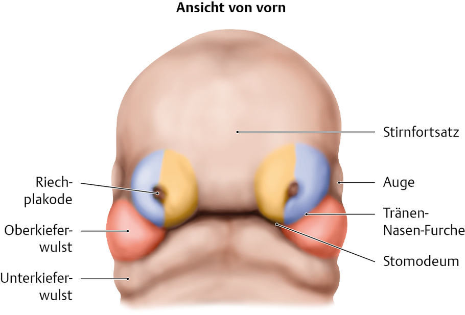 Kopf- und Halsentwicklung: Überblick - via medici