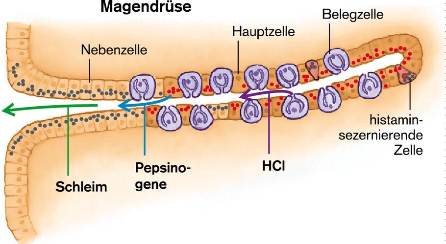 bauchspeicheldrüse funktion verdauung